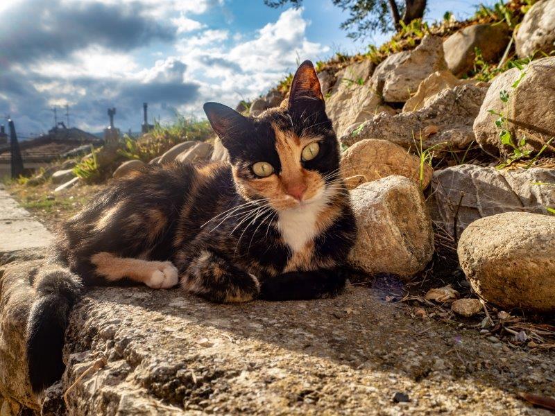 A2097EB-kleine-Schildpatt-Katze
