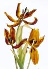 3-platz-c-m-rausch-tulpen
